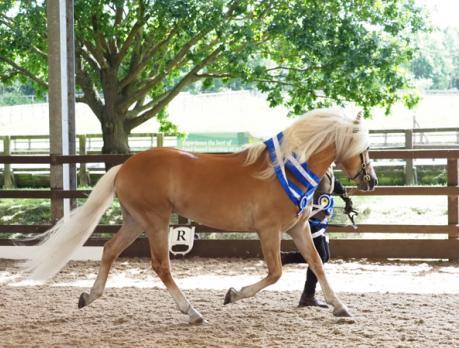 Stylo Haflinger Stud Stallion